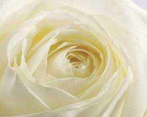 ΑΝΤΙΓΡΑΦΟ STUDY OF A WHITE ROSE 40 X 50 CM  40 50