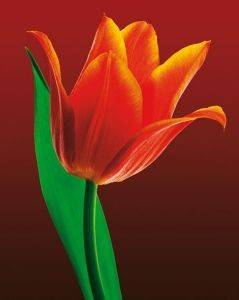 POSTER TULIP ON RED 40.6 X 50.8 CM